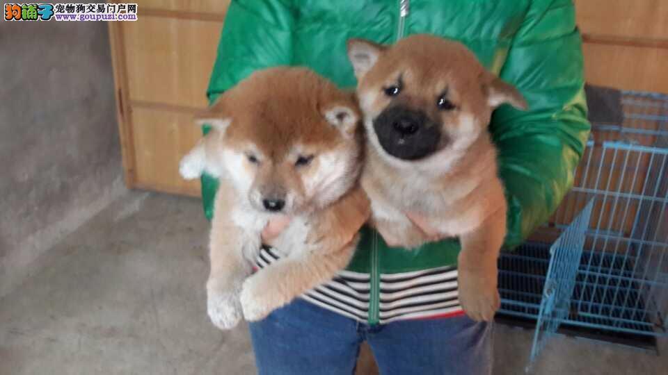 金山区柴犬犬舍繁殖出售纯种健康