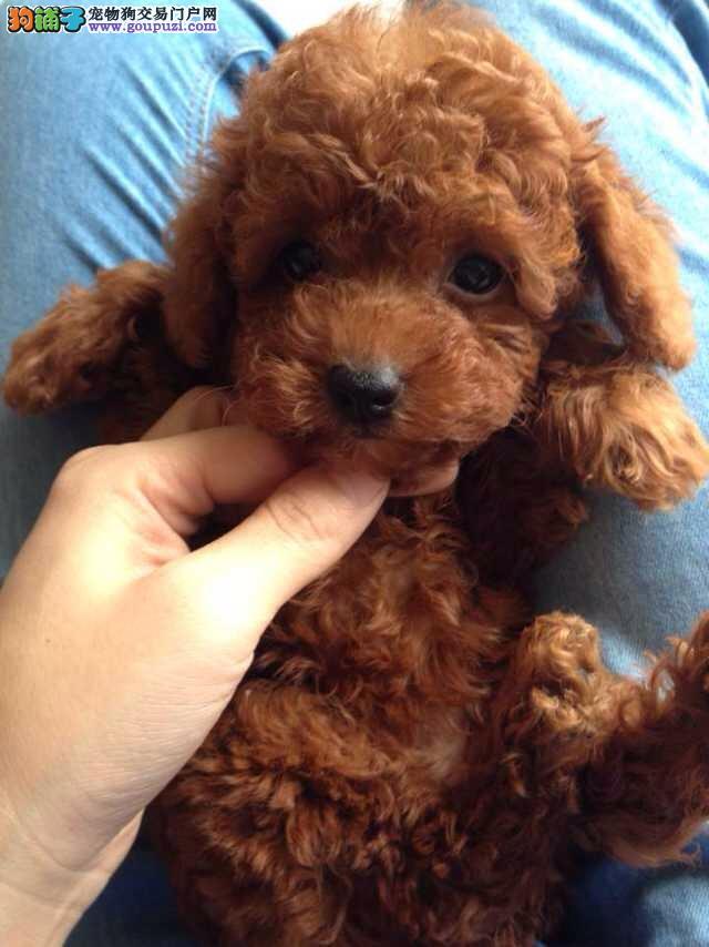 金山区泰迪犬犬舍繁殖出售纯种健康
