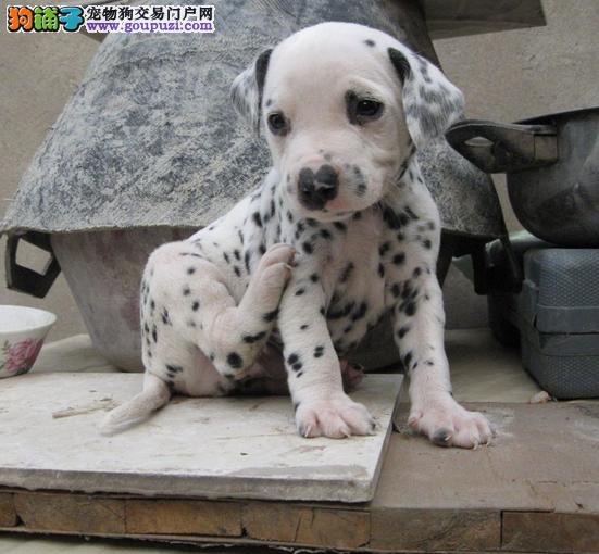 金山区斑点狗犬舍繁殖出售纯种健康