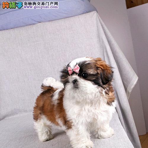 金山区西施犬犬舍繁殖出售纯种健康