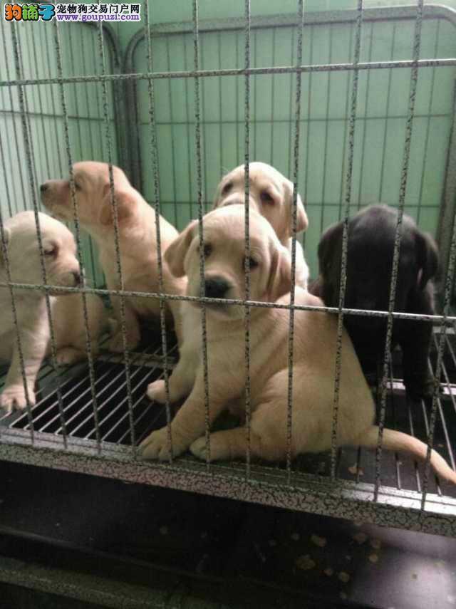金山区拉布拉多犬犬舍繁殖出售纯种健康