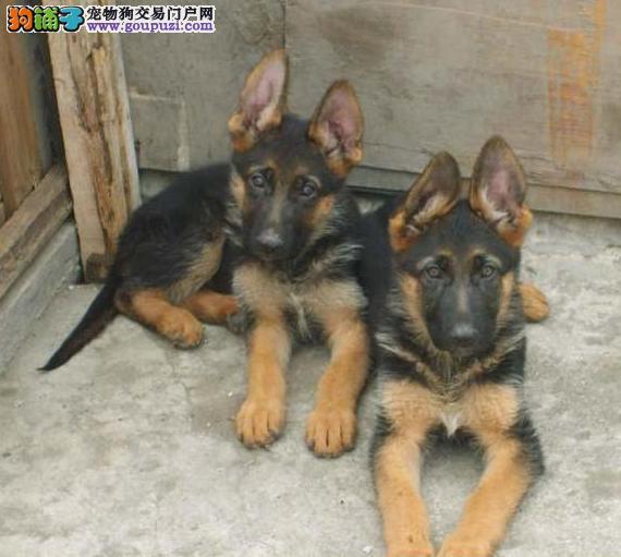 金山区狼狗犬舍繁殖出售纯种健康