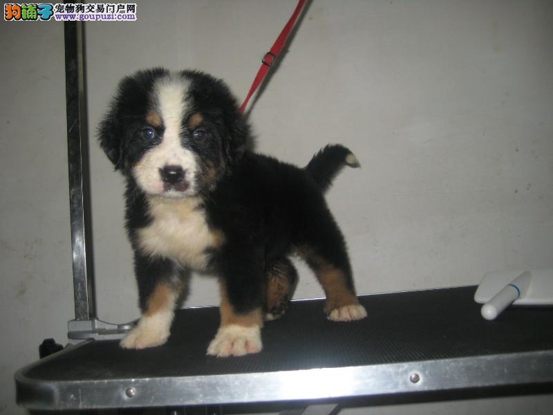 伯恩山 养殖基地出售纯种健康的伯恩山幼犬