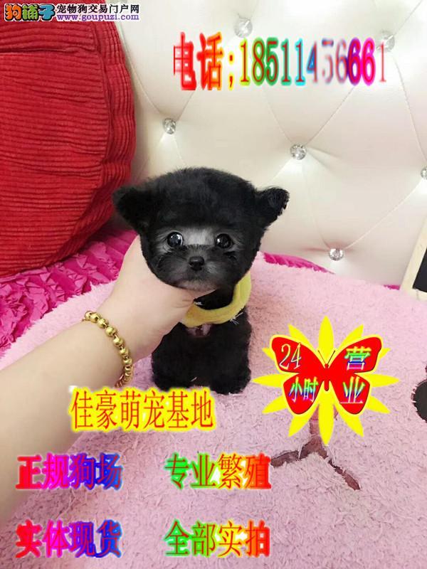 终身售后顶级泰迪熊犬签订协议来场见小狗父母