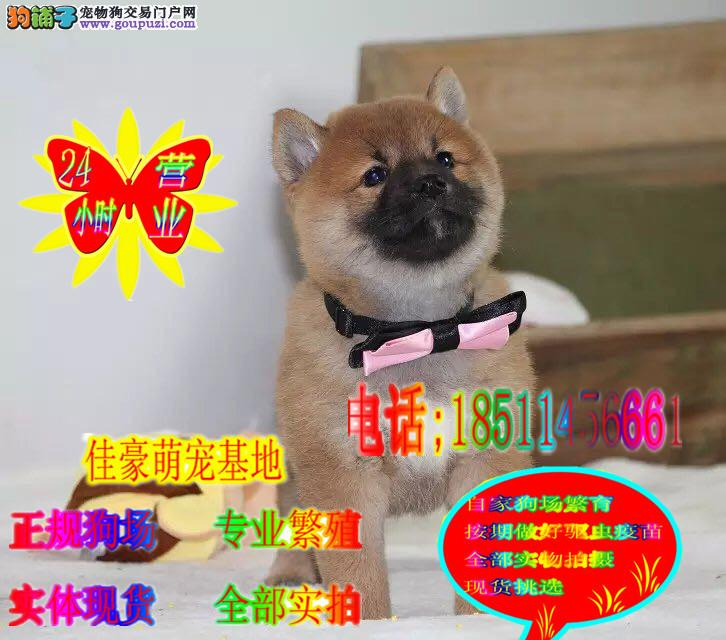 精品日柴 高品质日系柴犬幼犬 赛级柴犬幼犬