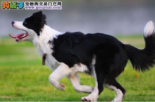 成为最受城市家庭欢迎的边境牧羊犬究竟有何魅力5