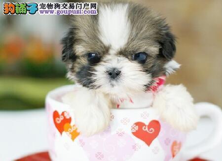 身价极高的茶杯犬却有着难言的隐痛,你知道吗?6