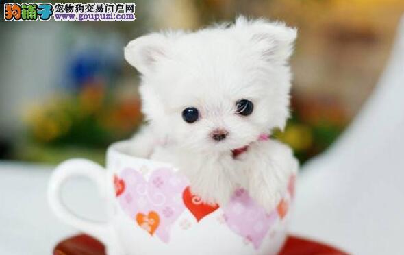 饲养茶杯犬不得不看的三大要点!!!6
