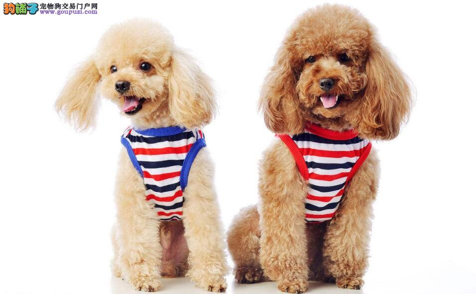 贵宾犬与泰迪到底有什么关系5