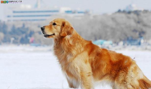 单身狗最适合养的几种狗6