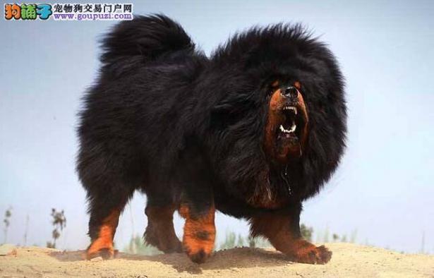 藏獒在路边袭击女路人,再次给养狗人敲响警钟6