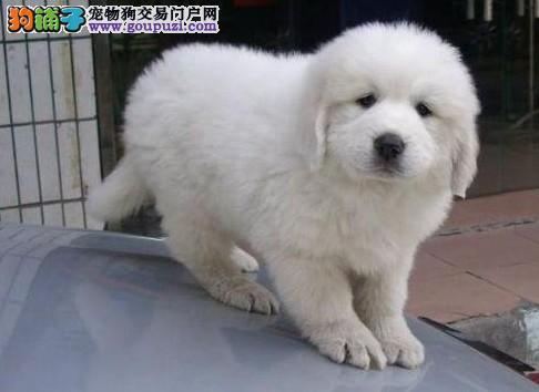 松江区哪里卖狗狗大白熊狗场
