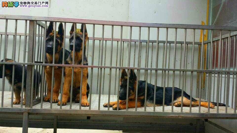徐汇区哪里有犬舍卖狼狗