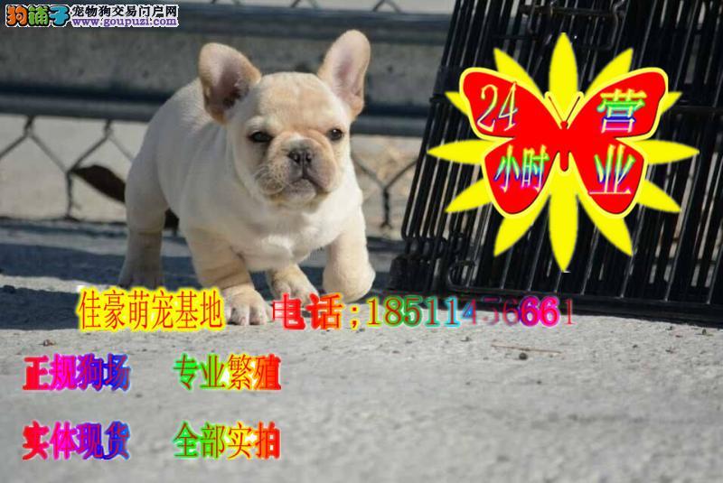 奶油色法斗虎斑法斗黑色法斗犬出售 专业犬舍繁育