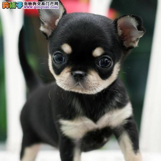 高品质小体纯种墨西哥苹果头鳄鱼嘴青蛙眼吉娃娃犬幼犬