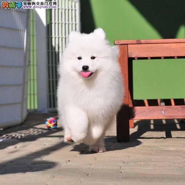 赛级精品萨摩幼犬出售,保证健康纯种