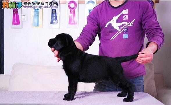 赛级精品拉布拉多幼犬出售,保证健康纯种