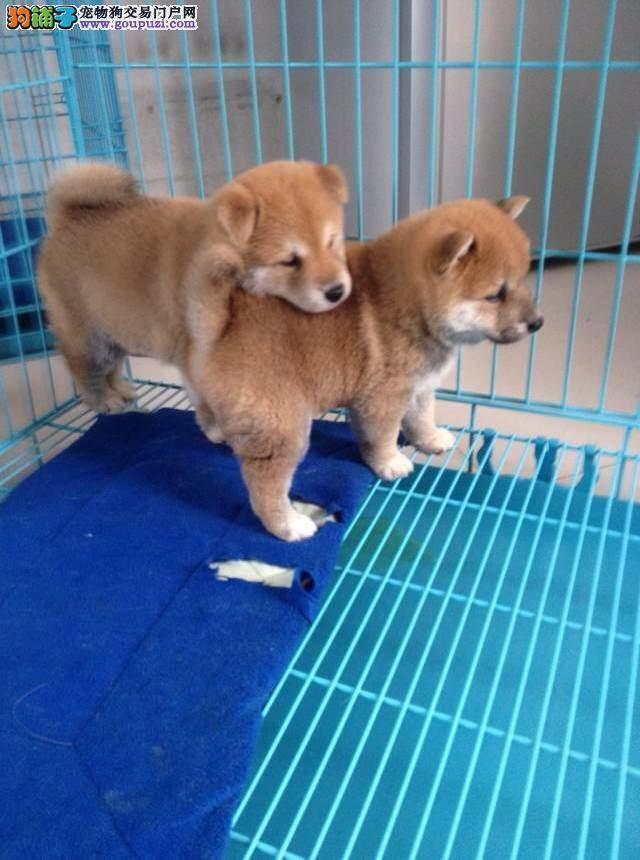 闵行区哪里有犬舍卖柴犬
