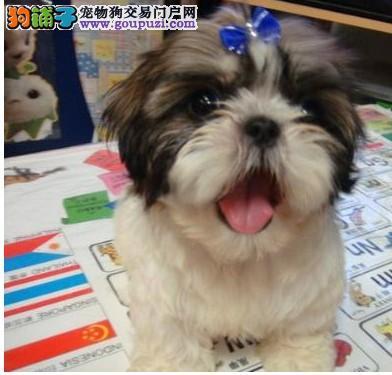 闵行区哪里有犬舍卖西施犬
