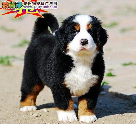 纯种高品质幼犬出售 大型犬伯恩山犬疫苗齐保活可空运