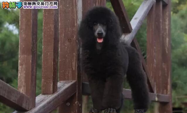 英皇室贵族犬种巨型贵宾犬纯种健康 北京巨贵多少钱