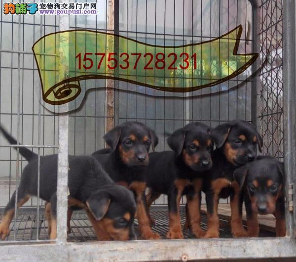 莱州红犬多少钱一只,哪里出售莱州红犬幼崽