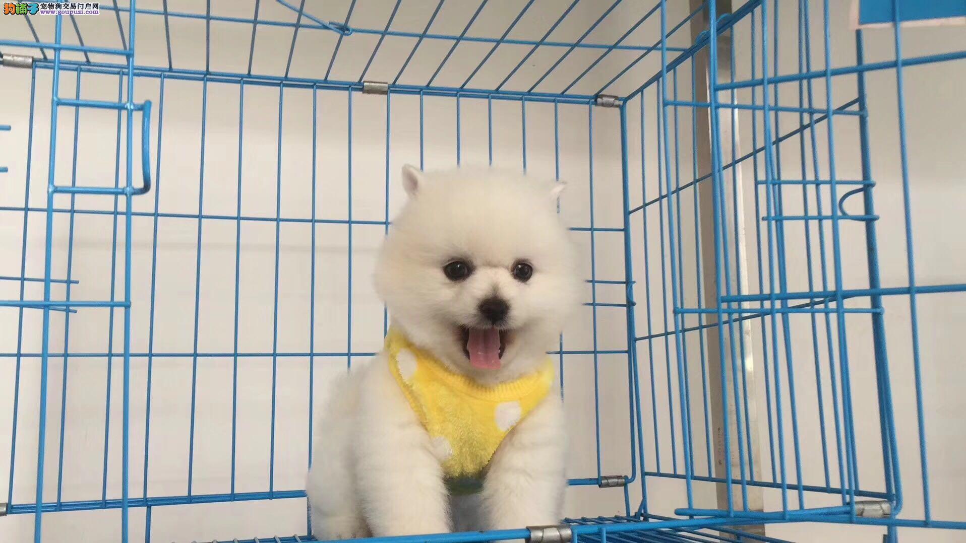 广州哪里有俊介幼犬出售 广州哪里买宠物狗保障一些