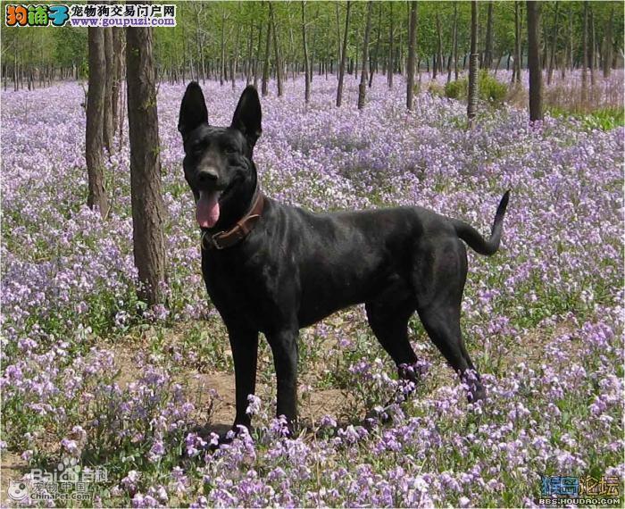 黑狼犬三个月小犬怎么卖纯种黑狼犬出售