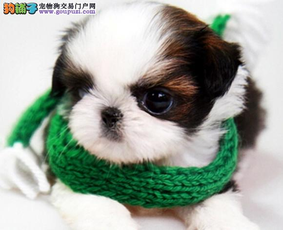 北京出售纯种西施犬幼犬长毛犬贵族犬多少钱哪里买