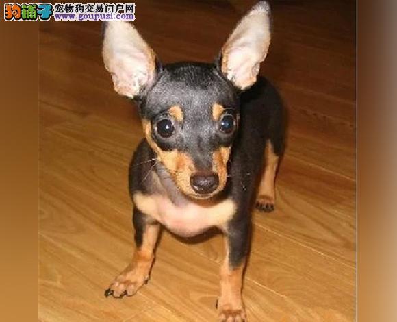 北京出售纯种小鹿犬幼犬小体铁包金小鹿哪里买多少钱