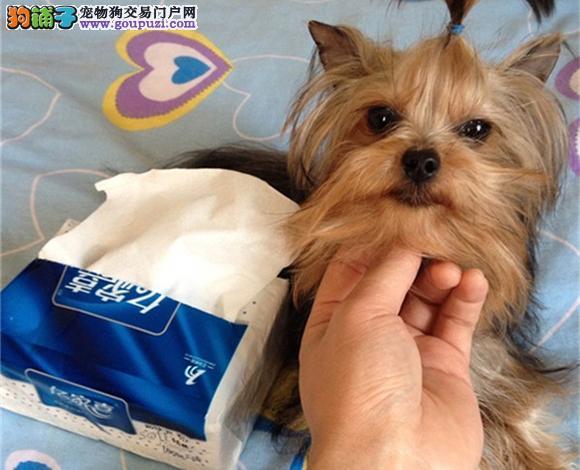 北京出售纯种约克夏犬长毛犬金头银背娃娃脸贵族犬幼犬