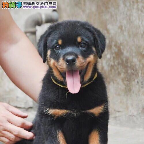重庆出售罗威纳犬防暴犬护卫幼犬大骨架罗威纳多少钱