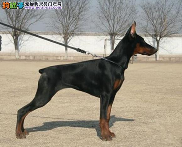 重庆出售纯种杜宾犬幼犬猛犬护卫犬赛级杜宾多少钱