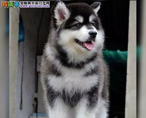 重庆出售纯种阿拉斯加犬幼犬熊版阿拉斯加大骨架雪橇犬