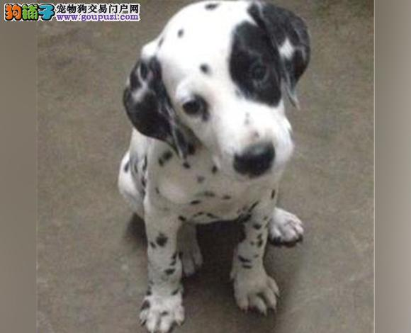 重庆出售纯种斑点犬幼犬大麦町犬花色均匀包健康包纯种