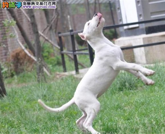 杭州出售纯种杜高犬护卫犬猛犬打猎犬杜高多少钱