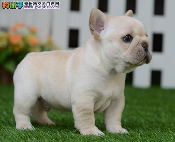 莆田出售纯种法国斗牛犬法牛幼犬法牛小短体斗牛犬