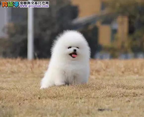 南昌出售纯种博美犬博美幼犬哈多利球形博美俊介宝宝