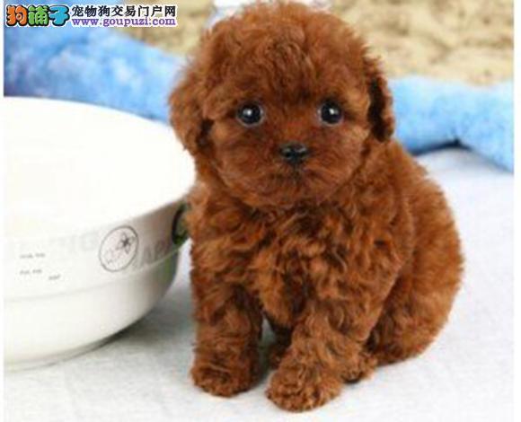 六安出售纯种泰迪贵宾犬泰迪幼犬娃娃脸大眼睛茶杯犬