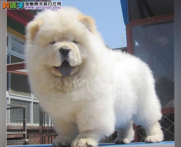 广州出售纯种松狮犬松狮幼犬肉嘴紫舌松狮犬松狮多少钱