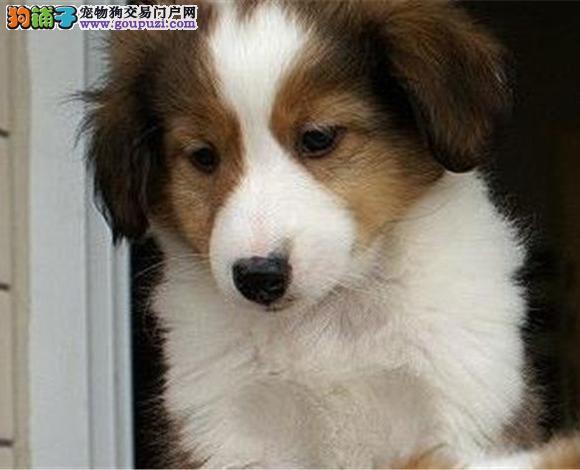 广州出售纯种苏牧苏格兰牧羊犬幼犬长毛伴侣犬多少钱