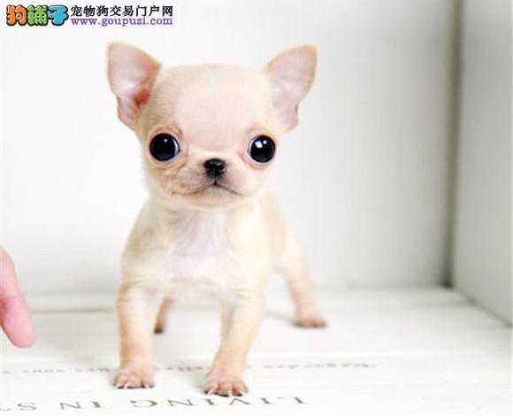 广州出售纯种吉娃娃幼犬苹果头大眼睛小体墨西哥吉娃娃