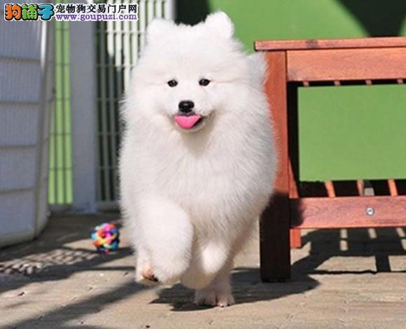 广州出售纯种萨摩耶微笑天使萨摩耶幼犬澳版熊版萨摩耶