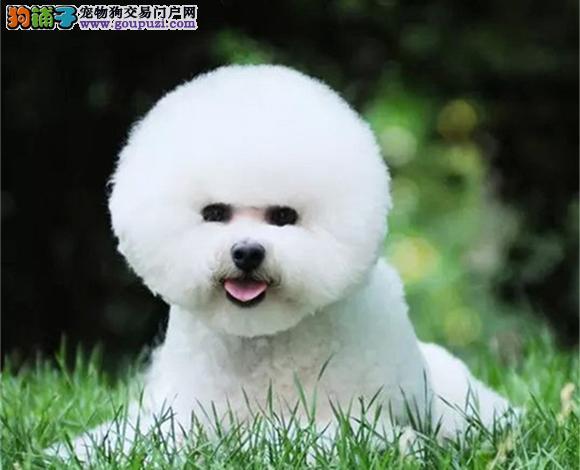 广州出售纯种比熊犬幼犬法国比熊卷毛棉花糖宝宝卷毛