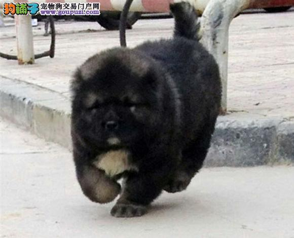 广州出售纯种高加索犬大骨架幼犬护卫犬猛犬多少钱