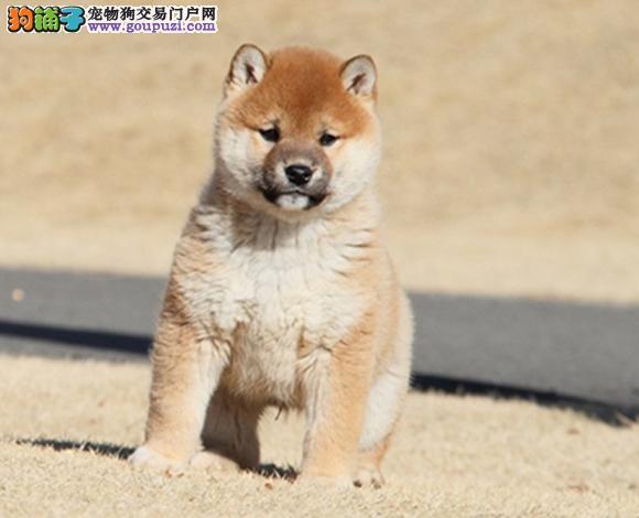 佛山出售纯种柴犬日系柴犬幼犬赛级柴犬豆柴网红脸柴犬