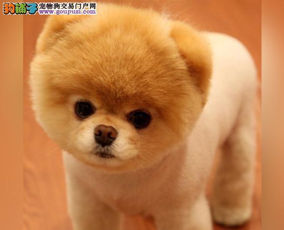 佛山出售纯种博美犬博美幼犬哈多利球形博美俊介宝宝