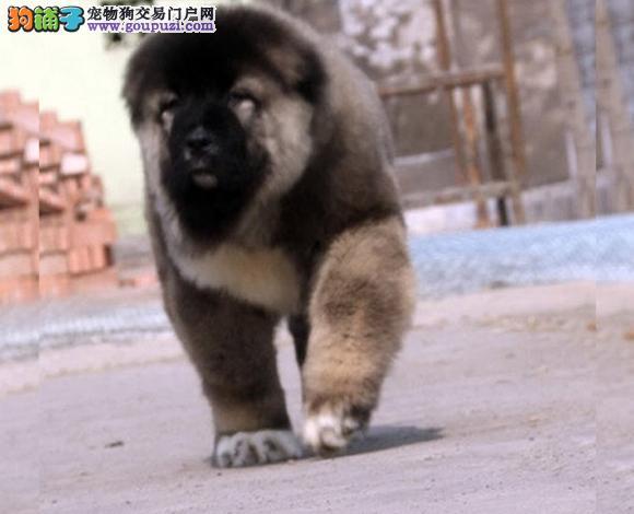 佛山出售纯种高加索犬大骨架幼犬护卫犬猛犬多少钱