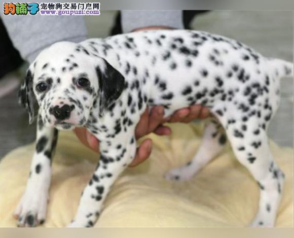三亚出售纯种斑点犬幼犬大麦町犬花色均匀包健康包纯种