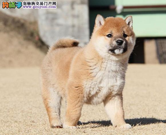 三亚出售纯种柴犬日系柴犬幼犬赛级柴犬豆柴网红脸柴犬